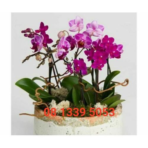 Hồ điệp cây giống hoa xổ số - 17495501 , 21368528 , 15_21368528 , 35000 , Ho-diep-cay-giong-hoa-xo-so-15_21368528 , sendo.vn , Hồ điệp cây giống hoa xổ số