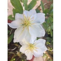 Hoa Bạch mai Miến điện 24 cánh lá trắng_ cây ghép lấy giống