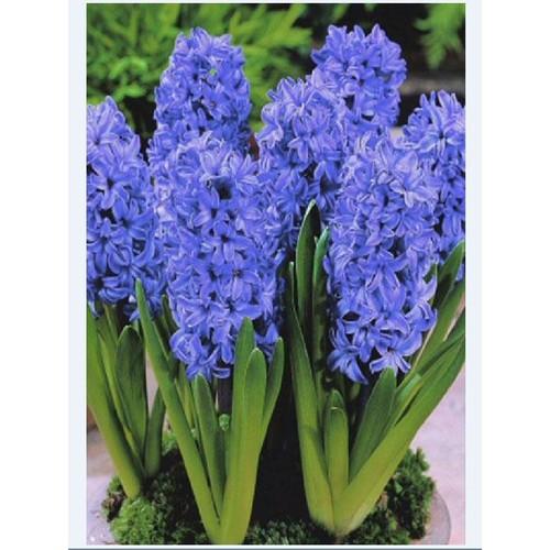 Combo 3 củ giống hoa tiên ông hoa màu xanh _ dạ lan hương