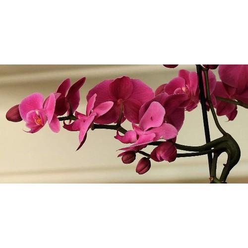 5 cây giống lan hồ điệp - 17585614 , 21890517 , 15_21890517 , 220000 , 5-cay-giong-lan-ho-diep-15_21890517 , sendo.vn , 5 cây giống lan hồ điệp