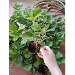 combo 6 cây dâu tây giống HaNa quả ngọt chịu nhiệt