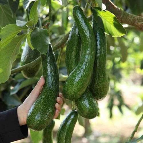 Cây giống bơ quả dài - 17653898 , 21974400 , 15_21974400 , 150000 , Cay-giong-bo-qua-dai-15_21974400 , sendo.vn , Cây giống bơ quả dài