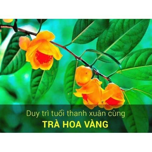 Cây chè hoa vàng 2 cây tặng thuốc kích rễ