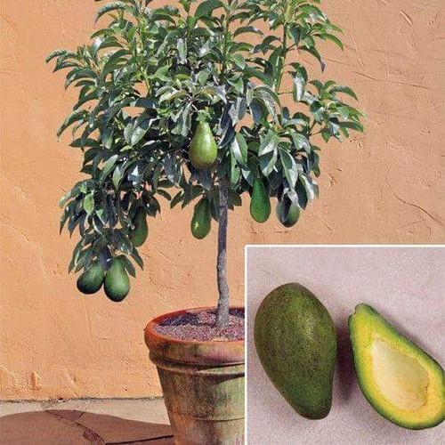 Cây giống bơ trái mùa - 17656156 , 21977340 , 15_21977340 , 150000 , Cay-giong-bo-trai-mua-15_21977340 , sendo.vn , Cây giống bơ trái mùa