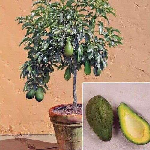 Cây giống bơ trái mùa - 17039913 , 21959878 , 15_21959878 , 150000 , Cay-giong-bo-trai-mua-15_21959878 , sendo.vn , Cây giống bơ trái mùa