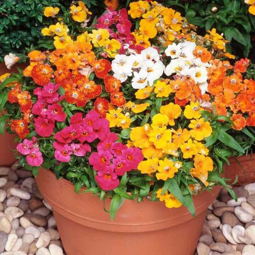 Hạt giống hoa cúc nemesia mix 100 hạt - 19398458 , 21990874 , 15_21990874 , 40000 , Hat-giong-hoa-cuc-nemesia-mix-100-hat-15_21990874 , sendo.vn , Hạt giống hoa cúc nemesia mix 100 hạt