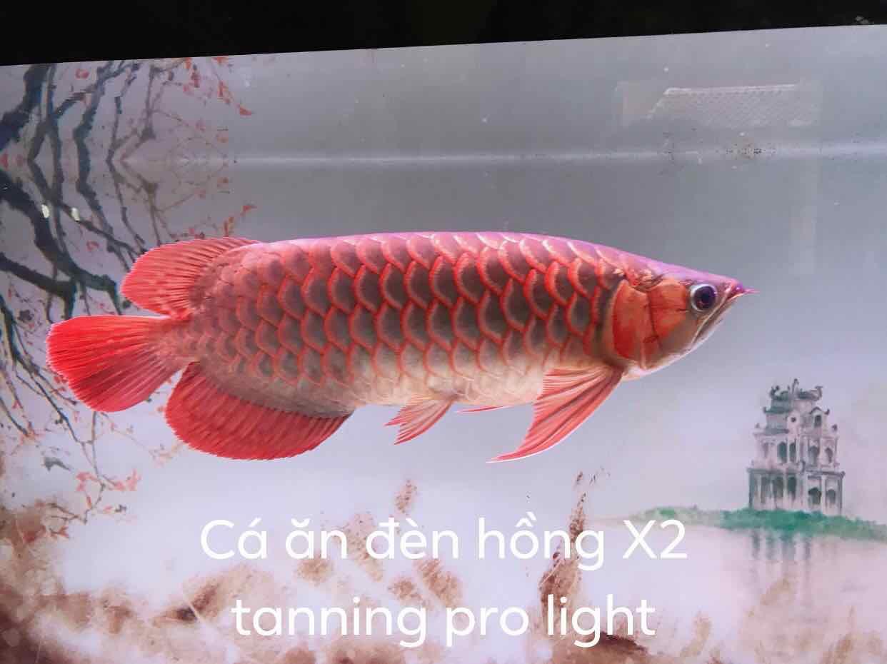 SIÊU RẺ] Đèn Led AquaNice 85cm X2 Tanning Pro Light Cho Hồ Cá - Hàng Công  Ty, Giá siêu rẻ 500,000đ! Mua liền tay! - SaleZone Store