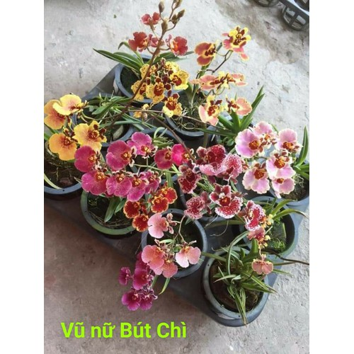 Vũ nữ bút chì cây giống hoa thơm nhẹ nhàng - 19416525 , 22021977 , 15_22021977 , 40000 , Vu-nu-but-chi-cay-giong-hoa-thom-nhe-nhang-15_22021977 , sendo.vn , Vũ nữ bút chì cây giống hoa thơm nhẹ nhàng