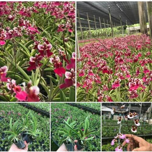 Vu nữ bút chì cây giống hương thơm nhẹ nhàng - 17041351 , 22023581 , 15_22023581 , 40000 , Vu-nu-but-chi-cay-giong-huong-thom-nhe-nhang-15_22023581 , sendo.vn , Vu nữ bút chì cây giống hương thơm nhẹ nhàng