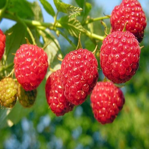 Hạt giống quả mâm xôi đỏ - 17689970 , 22053248 , 15_22053248 , 28000 , Hat-giong-qua-mam-xoi-do-15_22053248 , sendo.vn , Hạt giống quả mâm xôi đỏ
