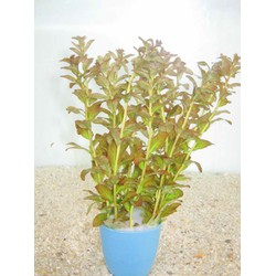 Vẩy ốc cam - Rotala Rontundifolia