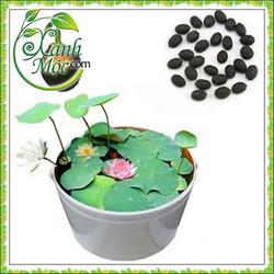 Hạt giống hoa Sen Nhật