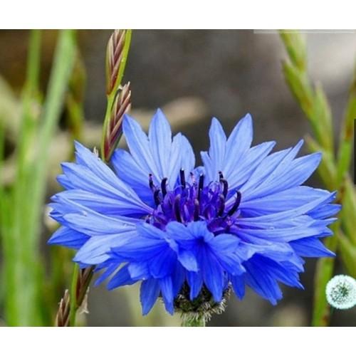 Hạt giống hoa trúc mai xanh