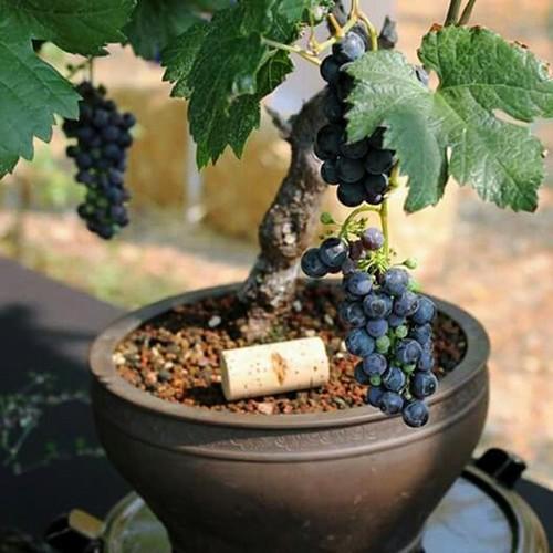 Hạt giống nho lùn | nho lùn pháp 10 hạt | nho lùn bonsai - 13232100 , 21381265 , 15_21381265 , 52000 , Hat-giong-nho-lun-nho-lun-phap-10-hat-nho-lun-bonsai-15_21381265 , sendo.vn , Hạt giống nho lùn | nho lùn pháp 10 hạt | nho lùn bonsai