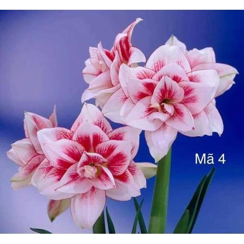 10 củ hoa lan huệ