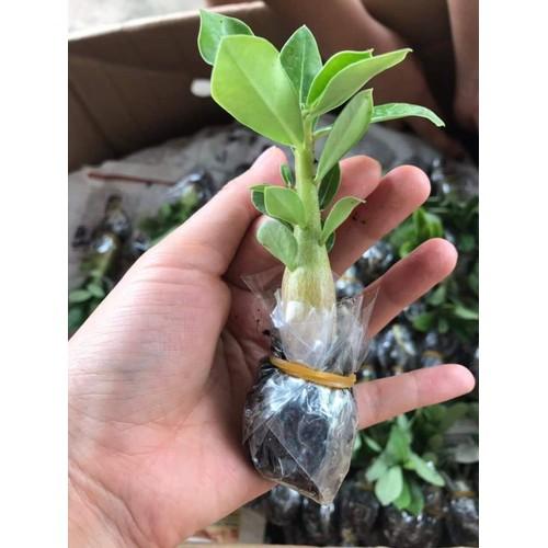 20 cây sứ giống gieo từ hạt