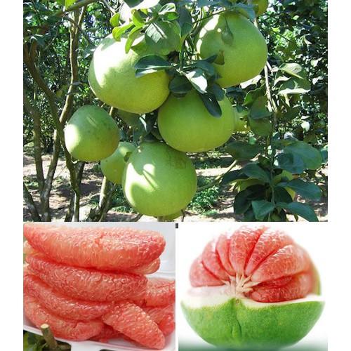 Cây giống bưởi da xanh ruột đỏ - 12485833 , 21490307 , 15_21490307 , 180000 , Cay-giong-buoi-da-xanh-ruot-do-15_21490307 , sendo.vn , Cây giống bưởi da xanh ruột đỏ