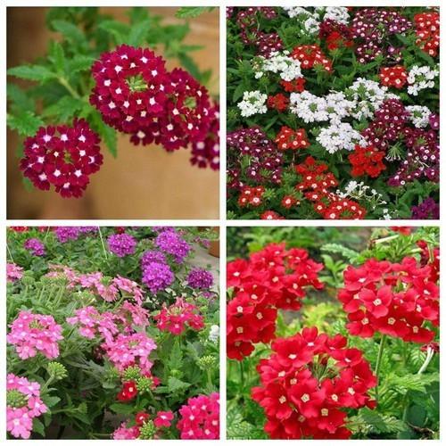 Hạt giống hoa cúc vân anh chất lượng cao - tặng kích mầm & tài liệu hướng dẫn gieo trồng