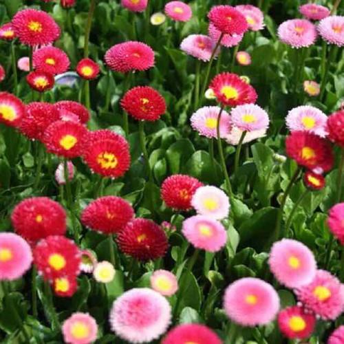 Hạt giống hoa cúc anh mix bellis - 13310529 , 21484238 , 15_21484238 , 20000 , Hat-giong-hoa-cuc-anh-mix-bellis-15_21484238 , sendo.vn , Hạt giống hoa cúc anh mix bellis