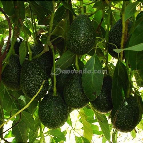 Cây giống bơ - 13314636 , 21489693 , 15_21489693 , 150000 , Cay-giong-bo-15_21489693 , sendo.vn , Cây giống bơ