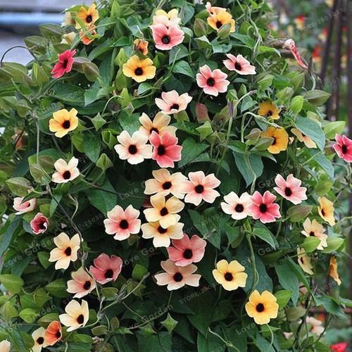 Hạt giống hoa mắt huyền mix chất lượng cao - tặng kích mầm & tài liệu hướng dẫn gieo trồng