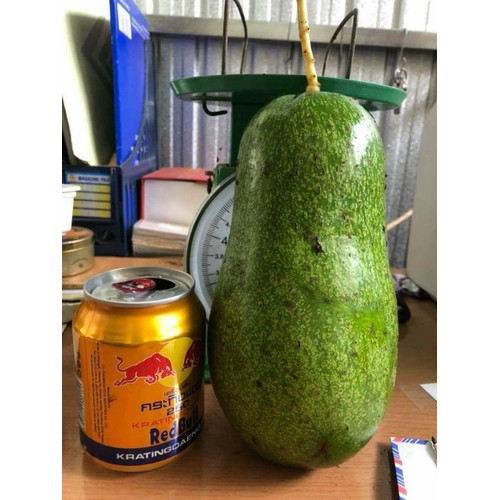 Cây giống bơ trái dài - 13317518 , 21493228 , 15_21493228 , 160000 , Cay-giong-bo-trai-dai-15_21493228 , sendo.vn , Cây giống bơ trái dài