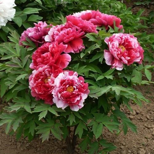 Hạt giống hoa mẫu đơn kép chất lượng cao - tặng kích mầm & tài liệu hướng dẫn gieo trồng