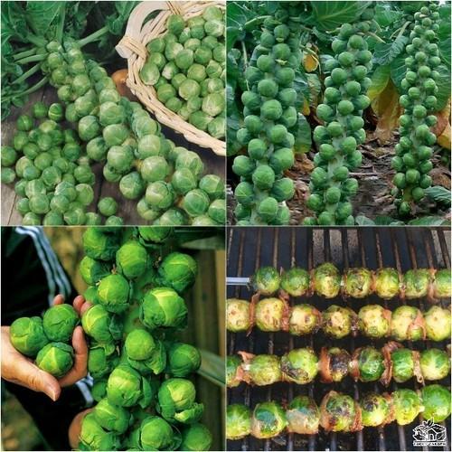 Hạt giống rau bắp cải tí hon xanh  giá rẻ