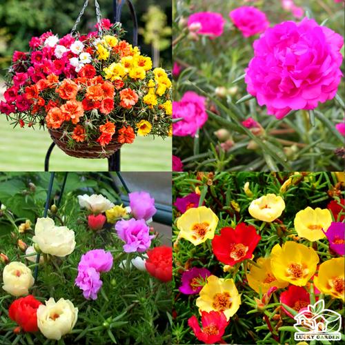 Hạt giống hoa mười giờ mỹ mix chất lượng cao - tặng kích mầm & tài liệu hướng dẫn gieo trồng