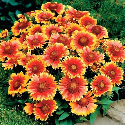Hạt giống hoa cúc thiên nhân - 13349212 , 21553588 , 15_21553588 , 24000 , Hat-giong-hoa-cuc-thien-nhan-15_21553588 , sendo.vn , Hạt giống hoa cúc thiên nhân