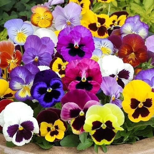 Gói 50 hạt giống hoa panxe nhiều màu - nanuseeds
