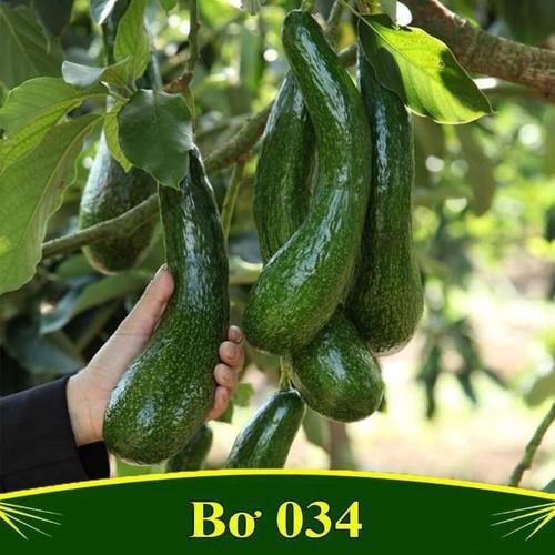 Cây giống bơ 034 - 13356171 , 21561852 , 15_21561852 , 150000 , Cay-giong-bo-034-15_21561852 , sendo.vn , Cây giống bơ 034