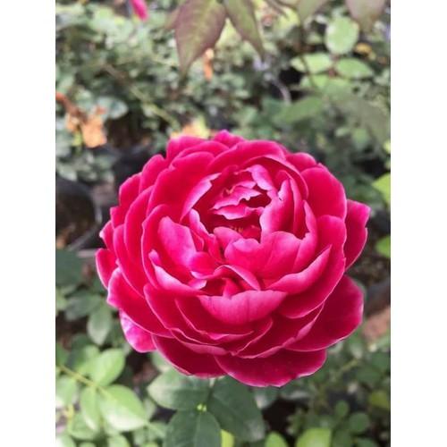Chậu hoa hồng 3d marie - 13358540 , 21564614 , 15_21564614 , 120000 , Chau-hoa-hong-3d-marie-15_21564614 , sendo.vn , Chậu hoa hồng 3d marie