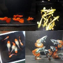 Cá Guppy Bảy Màu Thuần Chủng