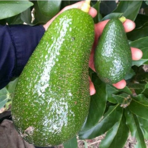 Cây giống bơ quả to khổng lồ - 13369239 , 21577638 , 15_21577638 , 249000 , Cay-giong-bo-qua-to-khong-lo-15_21577638 , sendo.vn , Cây giống bơ quả to khổng lồ