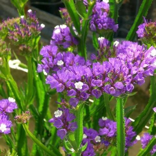 Hạt giống hoa salem mix - 13370961 , 21579827 , 15_21579827 , 22000 , Hat-giong-hoa-salem-mix-15_21579827 , sendo.vn , Hạt giống hoa salem mix