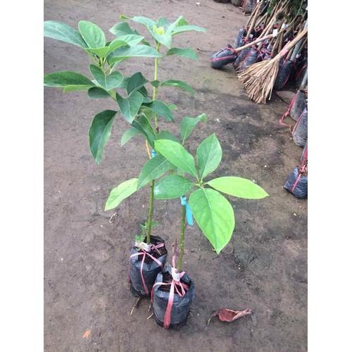 Cây giống bơ quả to - 13383994 , 21596332 , 15_21596332 , 150000 , Cay-giong-bo-qua-to-15_21596332 , sendo.vn , Cây giống bơ quả to