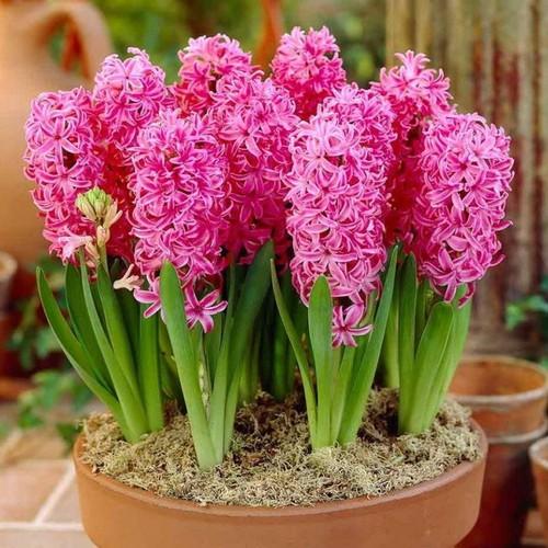 Hạt giống hoa ông tiên – bịch 10 hạt - 19768130 , 24912183 , 15_24912183 , 100000 , Hat-giong-hoa-ong-tien-bich-10-hat-15_24912183 , sendo.vn , Hạt giống hoa ông tiên – bịch 10 hạt