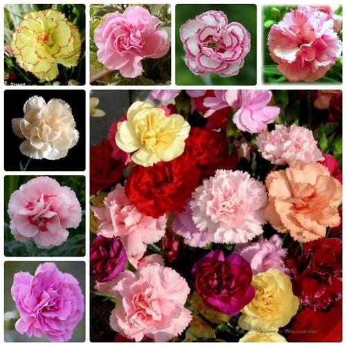 Trợ giá hạt giống hoa đẹp và các loại tự chọn biện thị thiếp eefy1