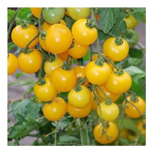 Trợ giá hạt giống cà chua bi vàng eefy1 - 19848147 , 25011082 , 15_25011082 , 12090 , Tro-gia-hat-giong-ca-chua-bi-vang-eefy1-15_25011082 , sendo.vn , Trợ giá hạt giống cà chua bi vàng eefy1