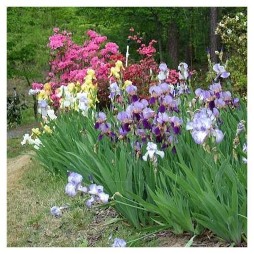 Trợ giá hạt giống hoa diên vĩ hồng iris hồng eefy1