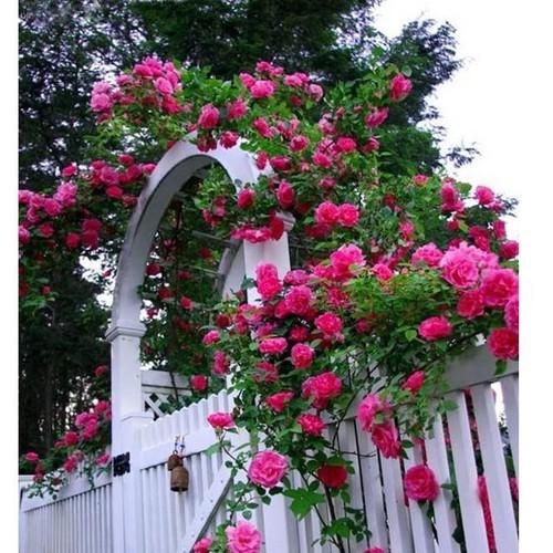 Trợ giá giảm 35 combo 20 viên nén và hoa hồng leo 1 kích mầm eefy1