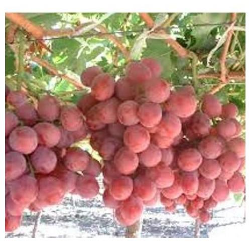 Trợ giá hạt giống nho pháp quả ngon ngọt năng suất gói 10 hạt eefy1