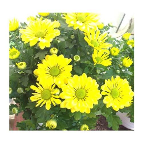 Trợ giá set 02 gói hạt giống hoa cúc vàng đẹp eefy1