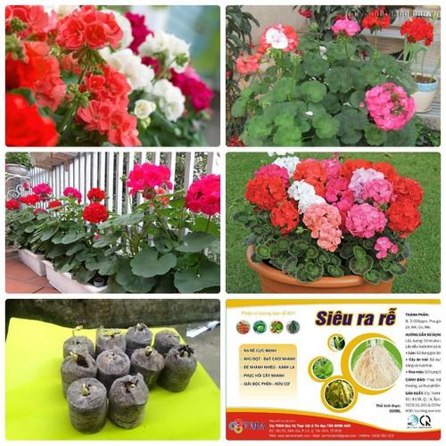 Trợ giá combo hạt giống hoa phong lữ thảo 10 viên nén ươm hạt và 1 gói thuôc dinh dưỡng cho cây eefy1