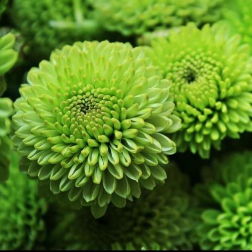Trợ giá hạt giống cúc zinnia xanh f1 lucky seeds 50 hạt eefy1