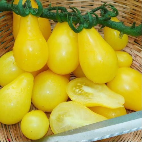 Trợ giá hạt giống cà chua quả lê vàng dễ gieo trồng tawngjj 1 phân bón eefy1 - 19847717 , 25010390 , 15_25010390 , 12090 , Tro-gia-hat-giong-ca-chua-qua-le-vang-de-gieo-trong-tawngjj-1-phan-bon-eefy1-15_25010390 , sendo.vn , Trợ giá hạt giống cà chua quả lê vàng dễ gieo trồng tawngjj 1 phân bón eefy1