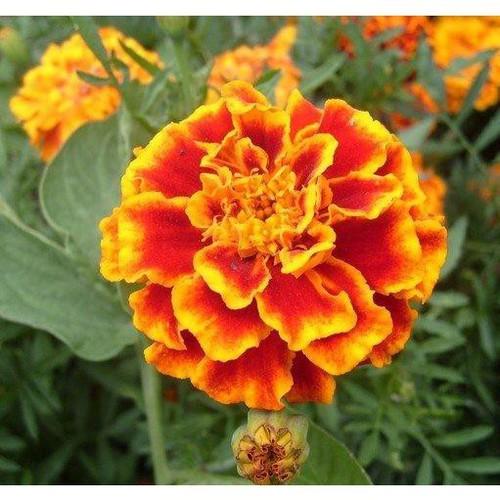 Trợ giá hạt giống hoa cúc vạn thọ pháp 50 hạt eefy1 - 19847439 , 25010095 , 15_25010095 , 12090 , Tro-gia-hat-giong-hoa-cuc-van-tho-phap-50-hat-eefy1-15_25010095 , sendo.vn , Trợ giá hạt giống hoa cúc vạn thọ pháp 50 hạt eefy1