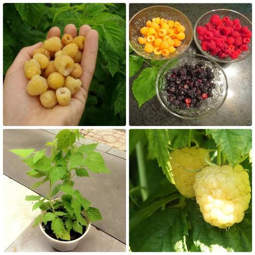 Trợ giá hạt giống mâm xôi vàng phúc bồn tử vàng 10 hạt eefy1