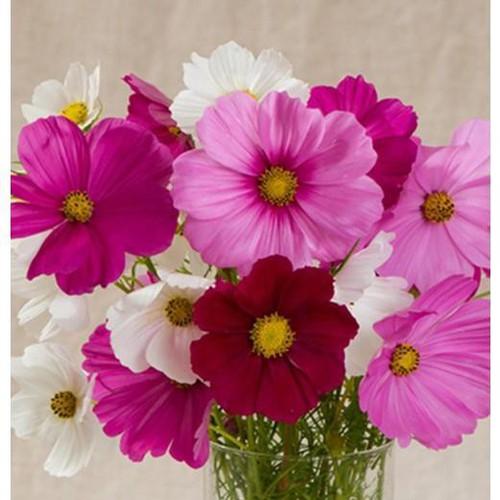 Trợ giá hạt giống hoa cúc sao hồng 100 hạt eefy1